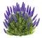 Stock Image : Echium candicans