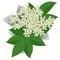 Stock Image : Elderflower
