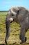 Stock Image : Elephant in Etosha