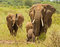 Stock Image : Elephant Herd with trumpeting juvenile