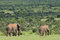 Stock Image : Elephants, Addo Elephant National park, South Africa