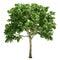 Stock Image : Elm Tree Isolated