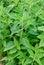 Stock Image : Erusalem artichoke leaves in nature