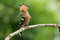 Stock Image : Eurasian hoopoe (Upupa epops)