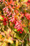 Stock Image : European barberry