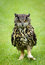 Stock Image : European Eagle Owl