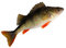 Stock Image : European perch ( Perca fluviatilis )