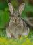 Stock Image : European Rabbit (Oryctolagus Cuniculus)