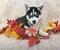Stock Image : Fall Husky Puppy