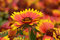 Stock Image : Fall Mums Orange and Yellow