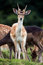 Stock Image : Fallow Deer