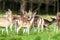 Stock Image : Fallow Deer Herd
