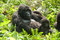 Stock Image : Female Gorilla with infant