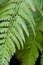 Stock Image : Fern