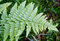 Stock Image : Fern leaf