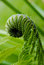 Stock Image : Fern sprout