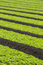 Stock Image : Field of baby lettuce leaf salad plants