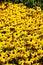 Stock Image : Field of Black-Eyed Susans