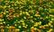 Stock Image : Field of carnation flower