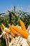 Stock Image : Field corn for feeding livestock