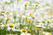 Stock Image : Field of daisy flowers