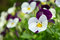 Stock Image : Field of pansy flowers