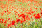 Stock Image : Field with poppies