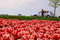 Stock Image : Field of tulips and road