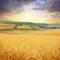 Stock Image : Field of wheat