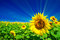 Stock Image : Fine sunflowers and fun sun in the sky.