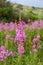 Stock Image :  Fireweed