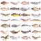 Stock Image : Fish collection