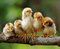 Stock Image : Five of cute chicks