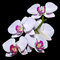 Stock Image : Five pink orchids on a branch