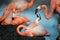 Stock Image : Flamingo (Phoenicopterus ruber)
