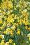 Stock Image : Flard van gele narcissen