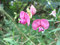 Stock Image : Flat pea or Narrow-leaved everlasting-pea (Lathyrus sylvestris)