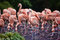 Stock Image : Flock of pink flamingos foraging in a lake