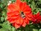 Bee and red dahlia flower