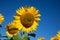 Stock Image :  Florezca el girasol en el fondo del cielo azul