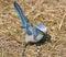 Stock Image : Florida Scrub Jay bird