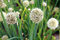 Stock Image : Flower chive.