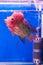 Stock Image : Flower horn fish