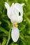 Stock Image : Flower of Moringa