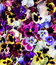 Stock Image : Flower Pansy