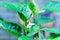 Stock Image : Flower pepper