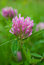 Stock Image : Flower of red clover