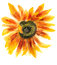 Stock Image : Flower of sunflower