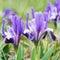 Stock Image :  Flowerbed των πορφυρών ίριδων