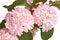 Stock Image : Flowering branch of snowball viburnum (Viburnum plicatum) isolat